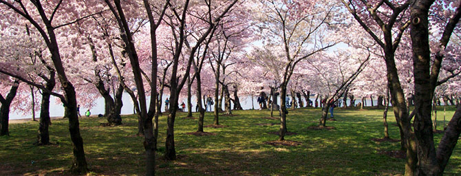 San Francisco Events - Northern California Cherry Blossom Festival